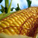 Гибридные семена кукурузы
